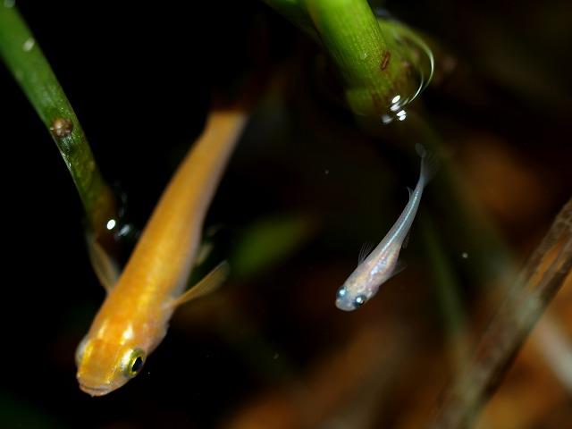 楊貴妃の稚魚と成魚1