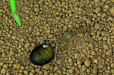 石巻貝とスジエビ