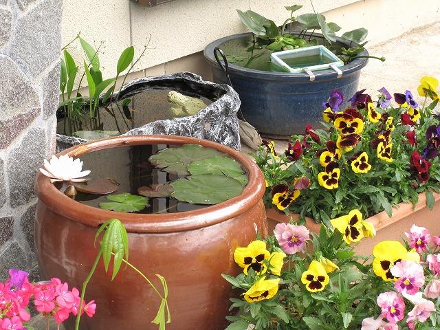 メダカたちの飼育水槽