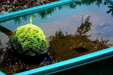 プラ船のアクセント 緑豊かな苔石