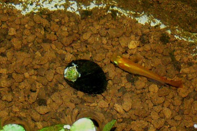 0618孤独な石巻貝に寄り添うヒメダカ