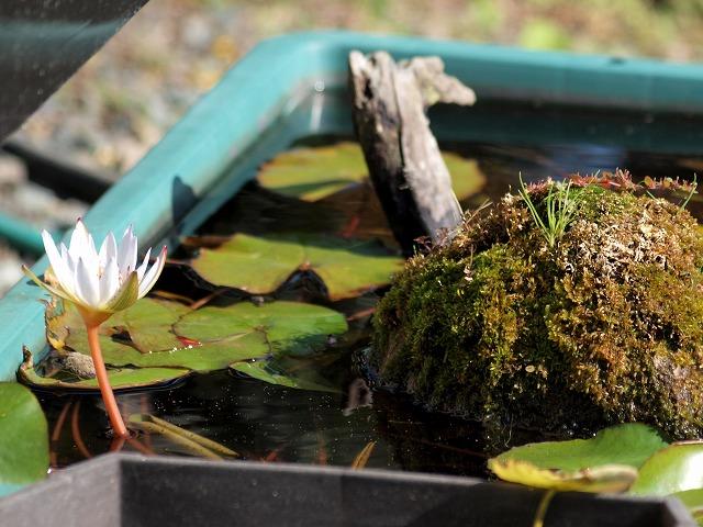 ドウベンの花と苔石