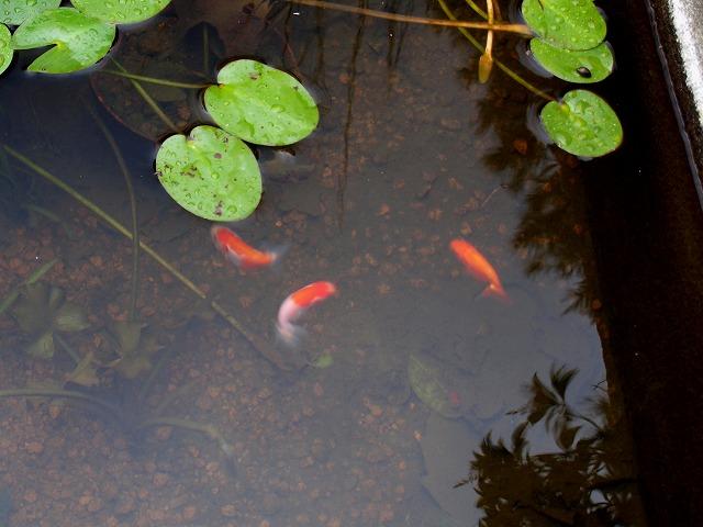メダカ池のらんちゅう