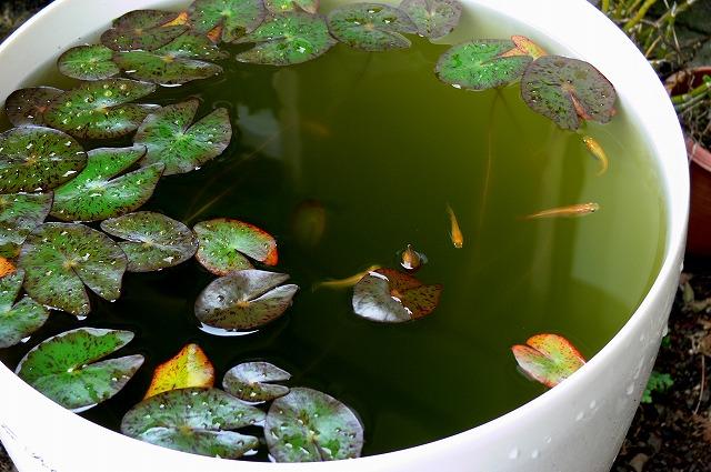 ヒメスイレンの屋外水槽