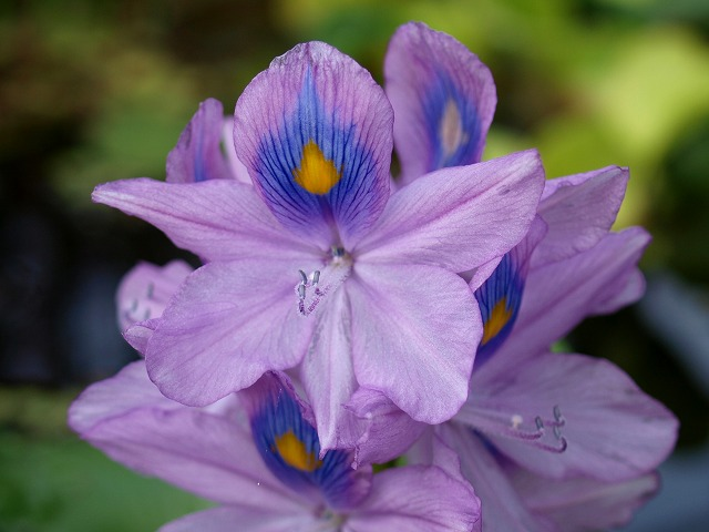 ホテイ草の開花