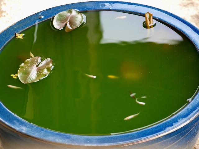 7 青水水槽のシロメダカ