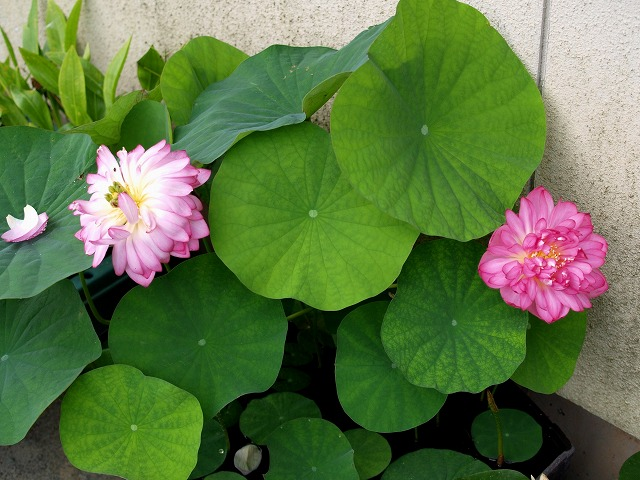 咲いた花と散りゆく花