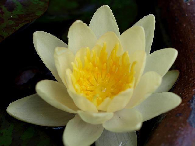 温帯スイレンの薄黄色の花