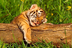 sleeping-tiger-cub