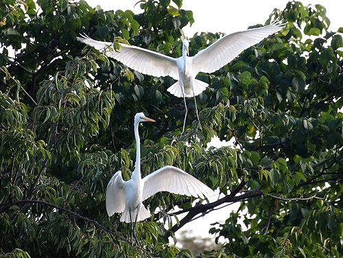 首を伸ばして翼を広げたダイサギ.jpg