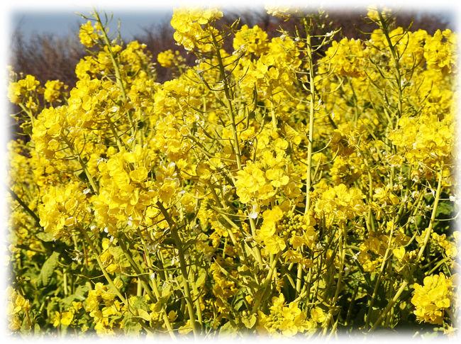 0菜の花650
