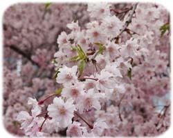 0桜250