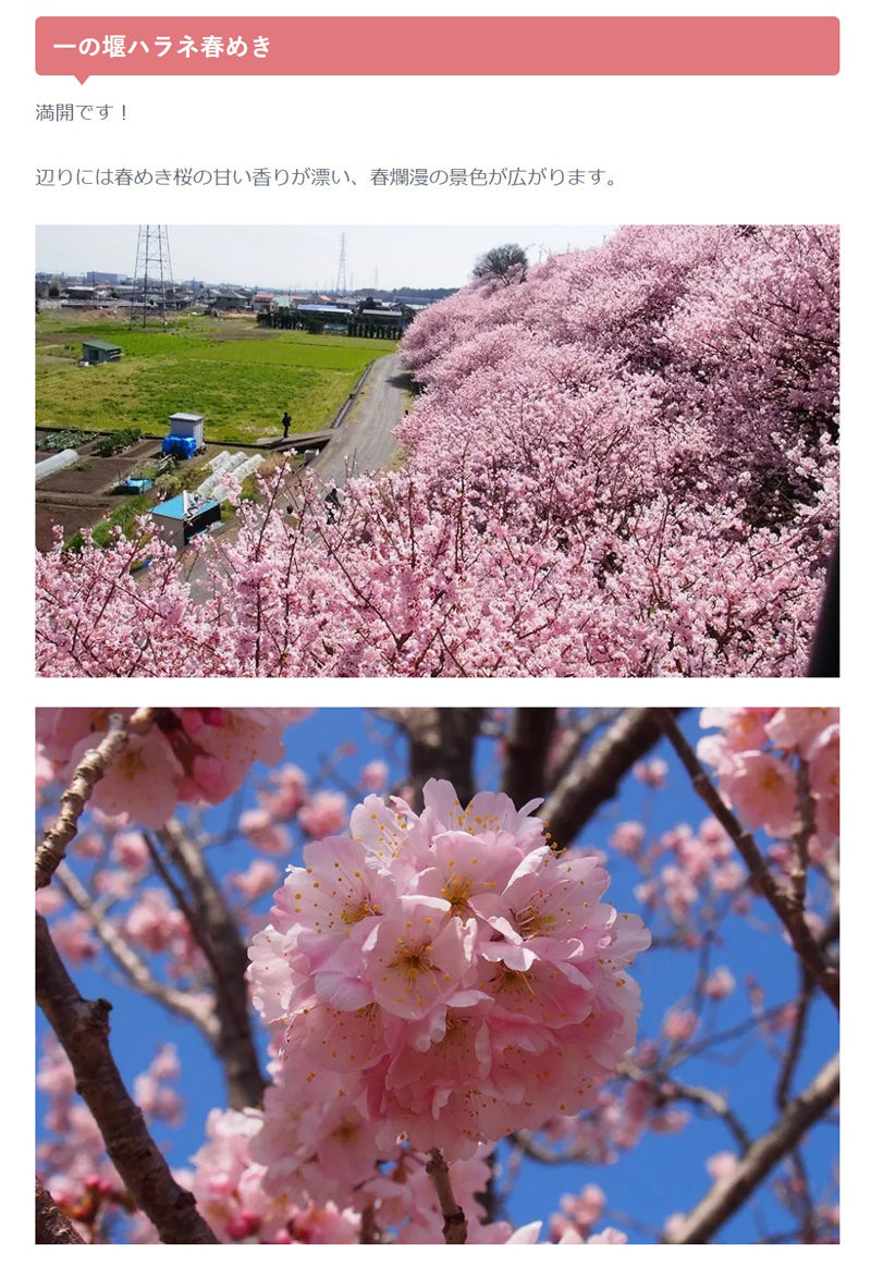 0桜満開800