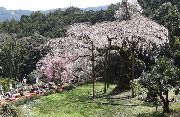 しだれ桜3