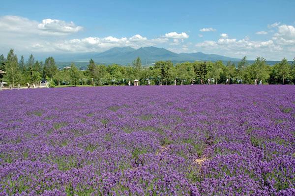 富田農場のラベンダー畑