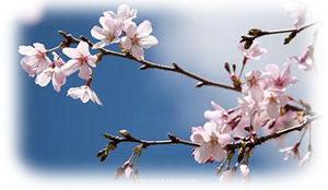 0桜300