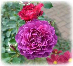 0YEG 薔薇の花250