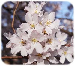 0エドヒガン桜拡大250