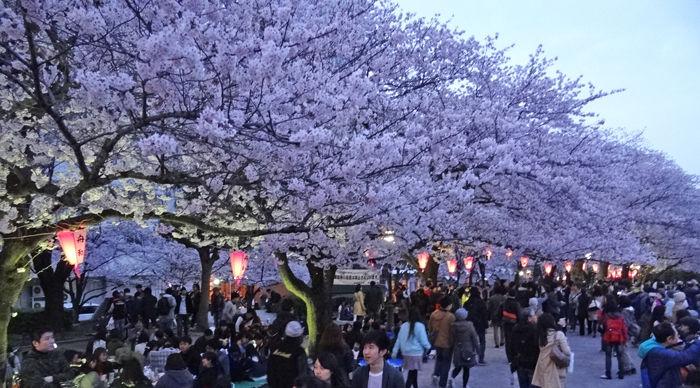 0ライトアップされた桜700