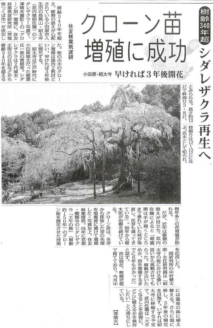 枝垂れ桜再生へ