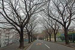 桜並木250