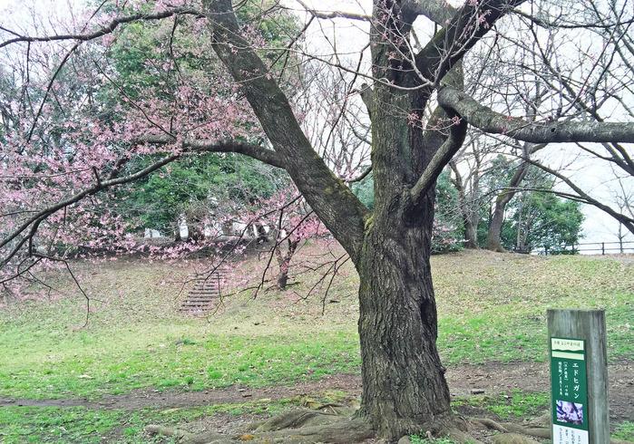0エドヒガン桜