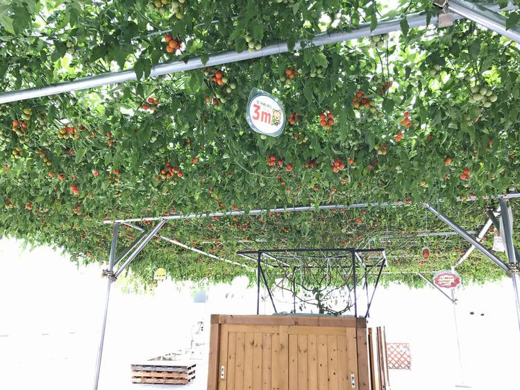 見事なトマト