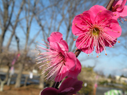 日本平の梅の花6