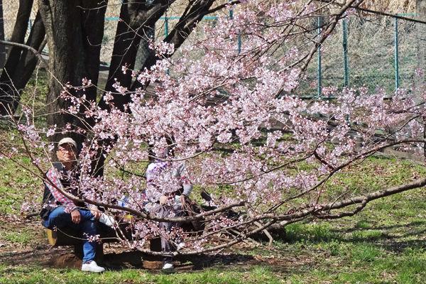 0よこやま桜3600