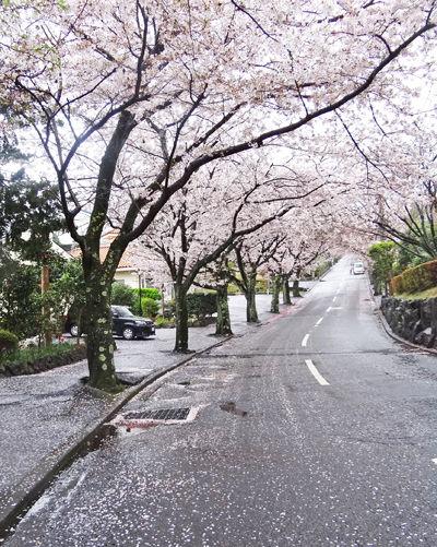 0保養所前の桜並木400