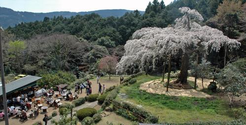 俯瞰した桜