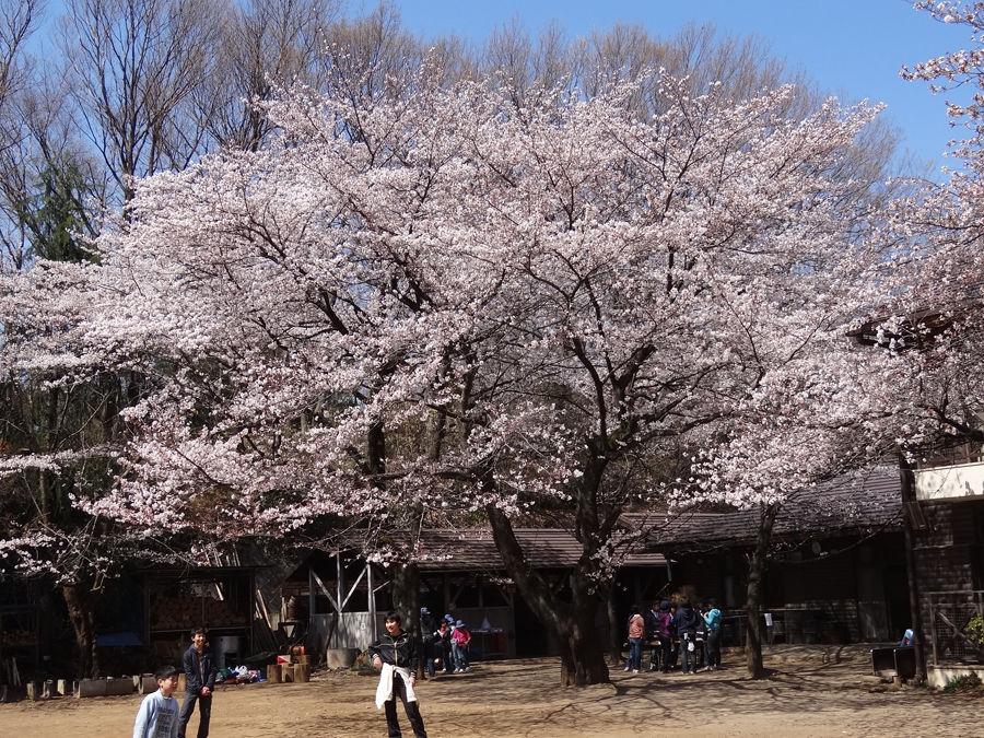 H24当時の桜900