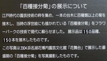 百種節分菊の解説文
