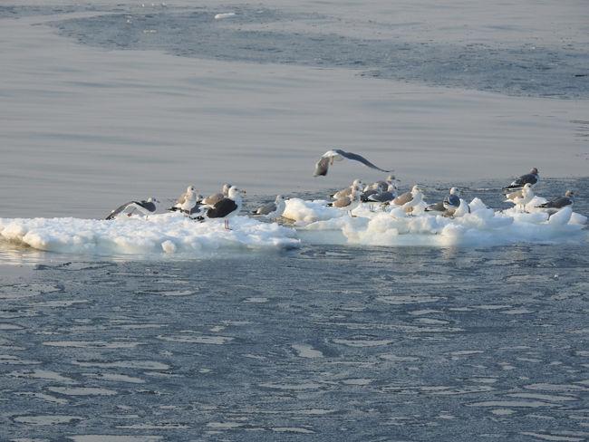 0流氷の上で休む鳥650