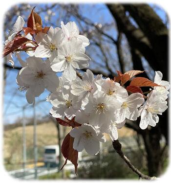 0山桜350