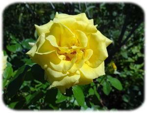 0黄薔薇300