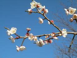 日本平の梅の花5