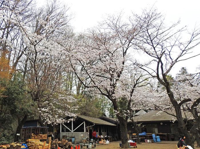 0分校の桜700