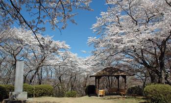 広場の桜1