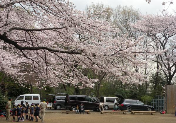 満開の分校桜