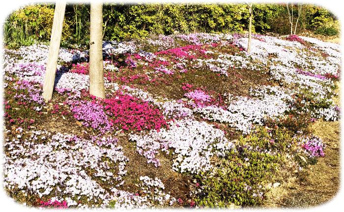 0芝桜700