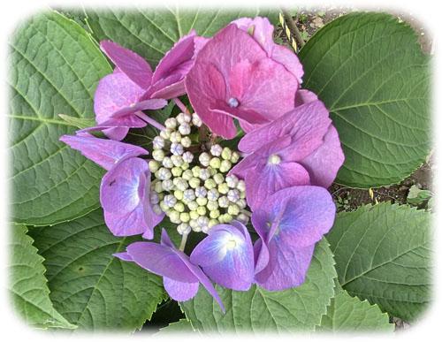 0紫陽花4400
