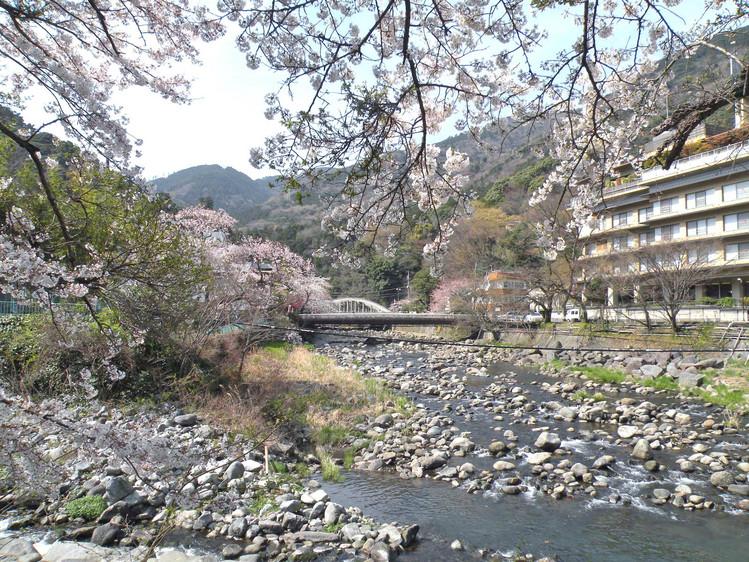 箱根湯本早川の桜210403m