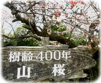 400年桜看板