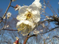 日本平の梅の花7