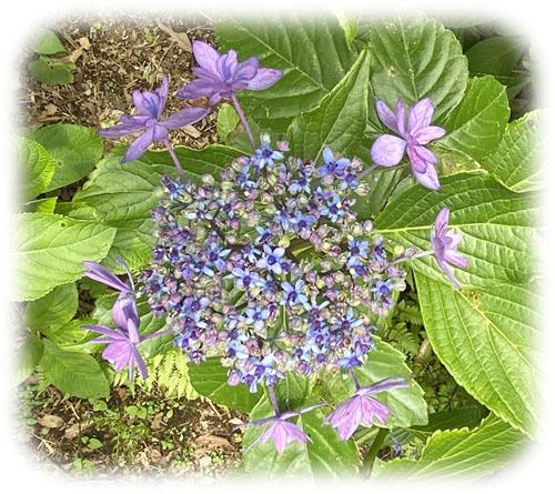0紫陽花6500