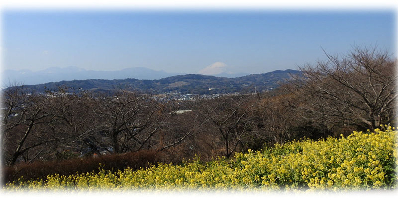 0菜の花と富士山800