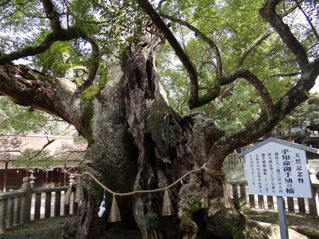 樹齢2600年の楠木