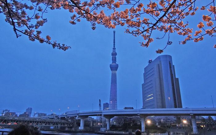 0夜桜とスカイツリー700