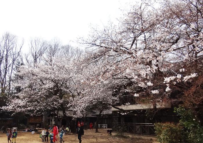0分校の桜2_700